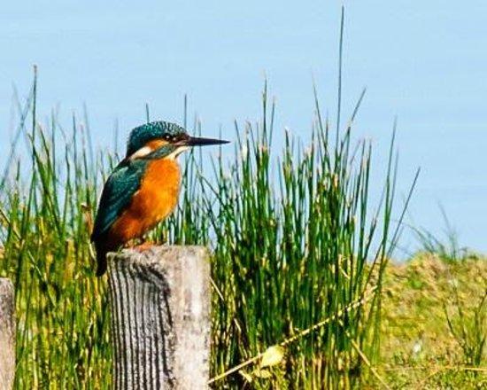 Teich Bird Reserve: Martin pêcheur, le 17 août 2014, parc du Teich
