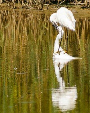 Teich Bird Reserve: Aigrettes garzettes, le 17 août 2014, parc du Teich