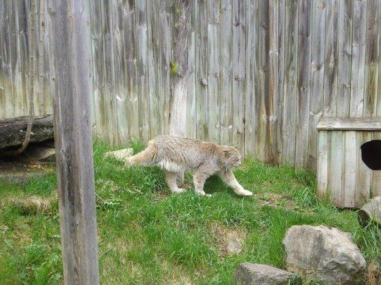 Zoo Ecomuseum: Le lynx