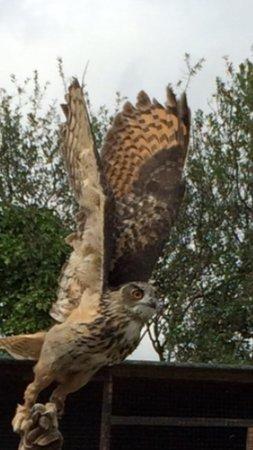 Screech Owl Sanctuary: Screech eagle owl - joe in flight