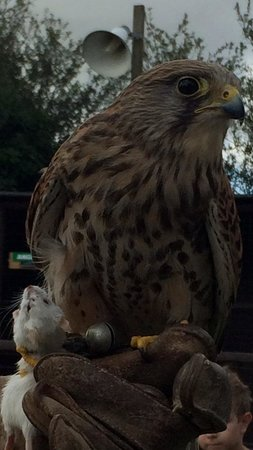 Screech Owl Sanctuary: Kestrel at screech