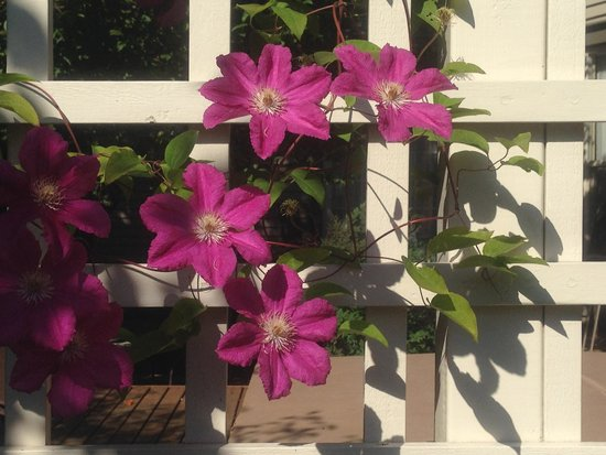 Hedman House, A Bed and Breakfast: Clematis were growing on the fence near the private hot tub area.
