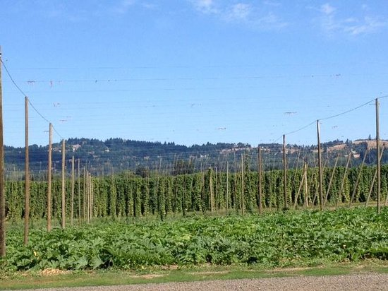 Rogue Farms Micro Hopyard: View of the hop fields (and pumpkin patch in foreground) from picnic tables