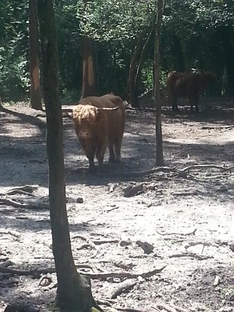 Waccatee Zoo : Scottish Highlands cattle (the bull and a cow came over for food and head scratches thru the fen