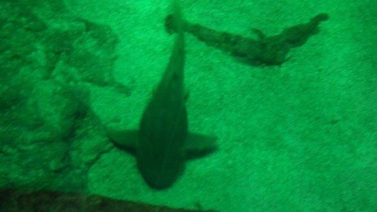 Aquarium La Rochelle : Requin
