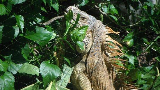 Iberostar Cozumel: Resident Green Iguana
