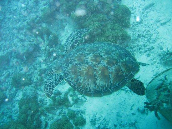 Olhuveli Beach & Spa Maldives : Tartaruga