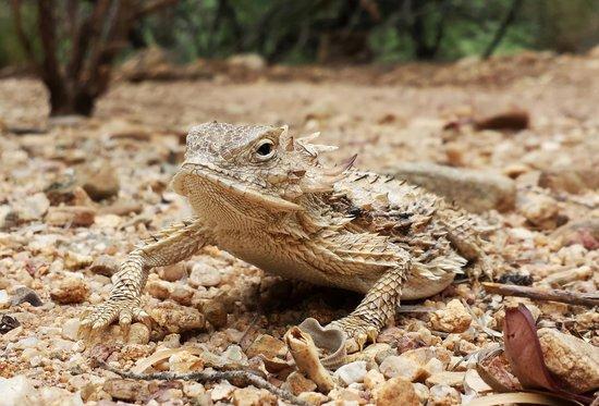 Miraval Arizona Resort & Spa: Horned Toad