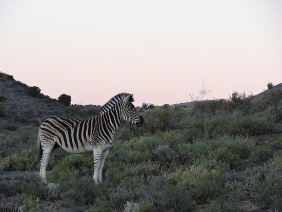 Sanbona Wildlife Reserve - Tilney Manor, Dwyka Tented Lodge, Gondwana Lodge: Sunset Zebra