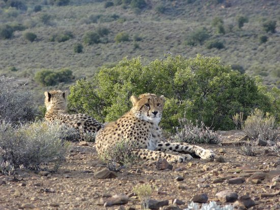 Sanbona Wildlife Reserve - Tilney Manor, Dwyka Tented Lodge, Gondwana Lodge: Mummy Cheetah and her adolescent Cubs