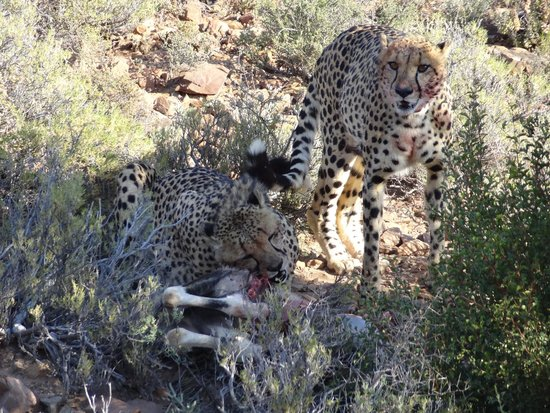 Sanbona Wildlife Reserve: The brothers and their Kill