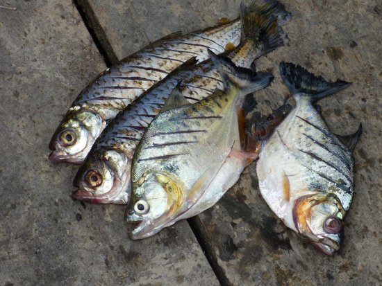 Treehouse Lodge : Piranhas fresh from the waters