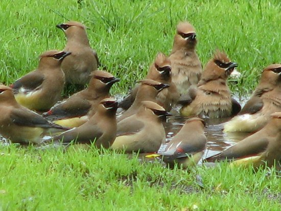 Kildonan Park: Cedar Waxwings having a bath