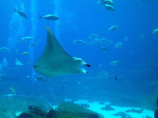 Georgia Aquarium : Manta