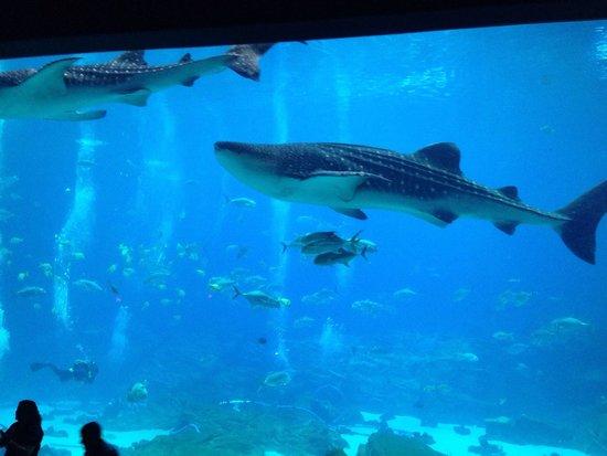Georgia Aquarium : Squalo balena