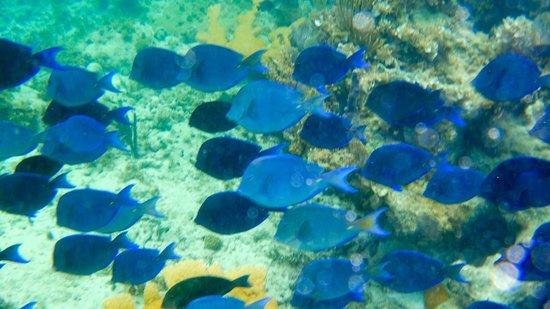 Paradisus Rio de Oro Resort & Spa: banc de poissons bleus