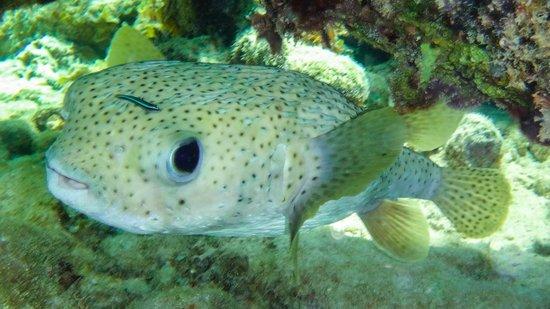 Paradisus Rio de Oro Resort & Spa: poisson porc-épic
