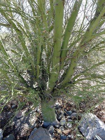 Lake Havasu State Park: Many very green trees