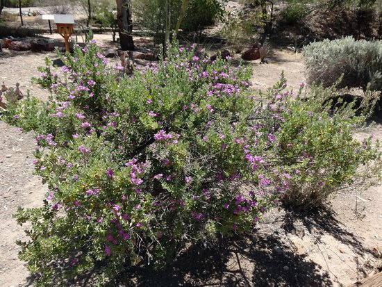 Lake Havasu State Park: Blooming bushes