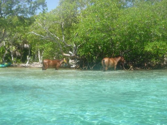Little French Key: Horses that you ride through the water with a guide