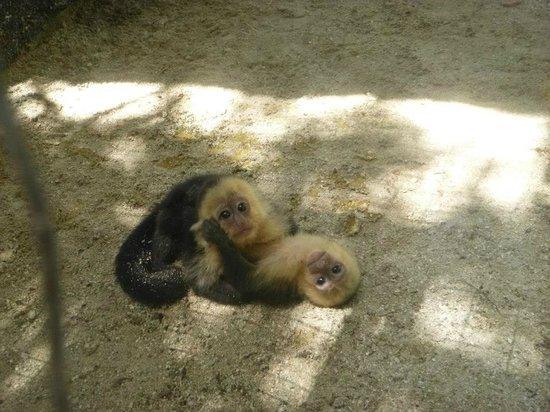 Little French Key: Baby capuchin monkeys