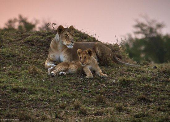 Mara Bush Houses, Asilia Africa: Lioness with cub at sunset