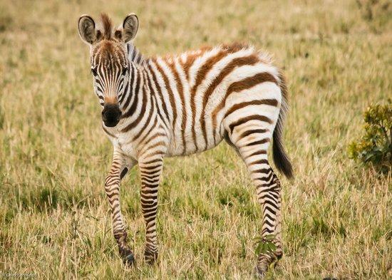 Mara Bush Houses, Asilia Africa: Zebra