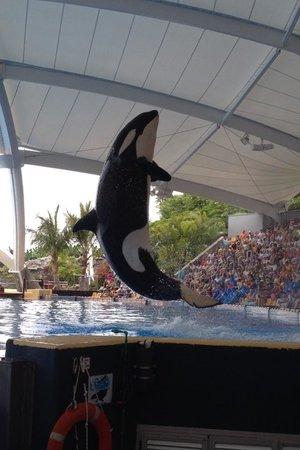 Loro Parque: Les orques