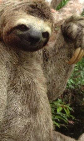Juma Amazon Lodge : Placid sloth