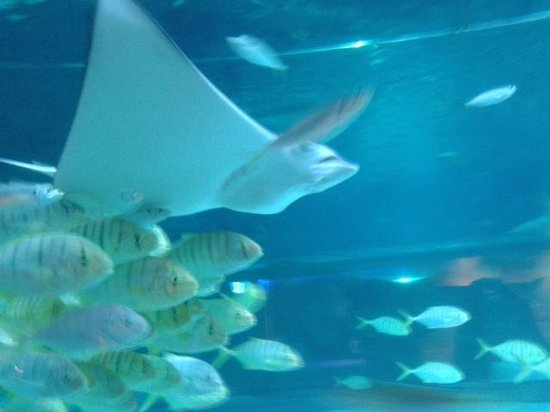 Coex Aquarium: скат