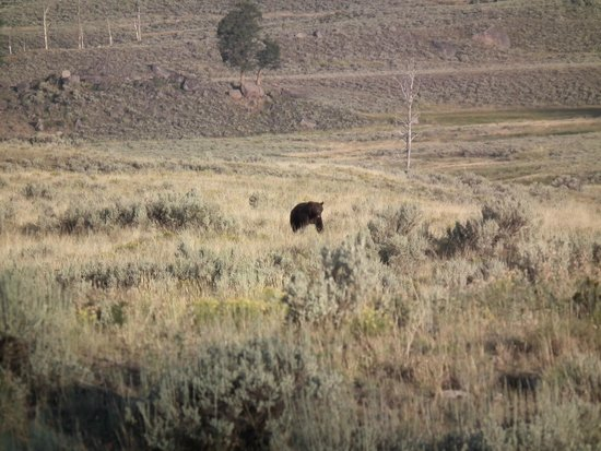 Headwaters Lodge & Cabins at Flagg Ranch: Grizzly in Yellowstone