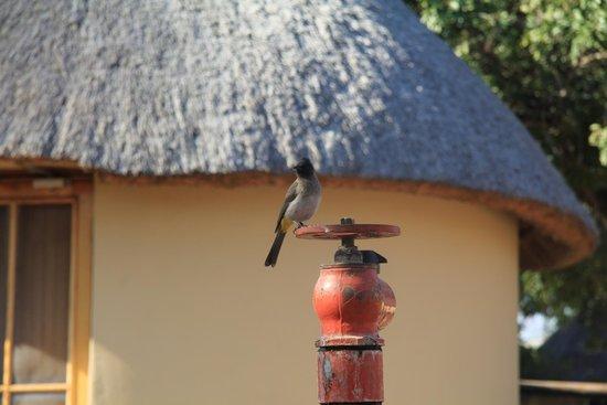 Pretoriuskop Restcamp: Another little feathered friend