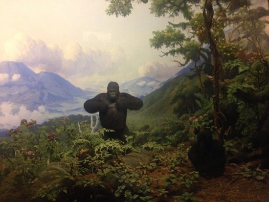 American Museum of Natural History : The gorilla.