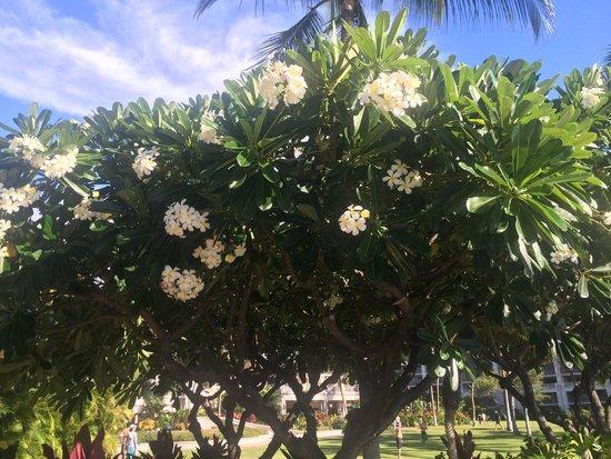 Fairmont Orchid, Hawaii: Plumeria