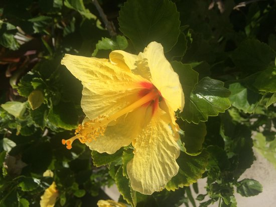 Fairmont Orchid, Hawaii: Yellow hibiscus by pool
