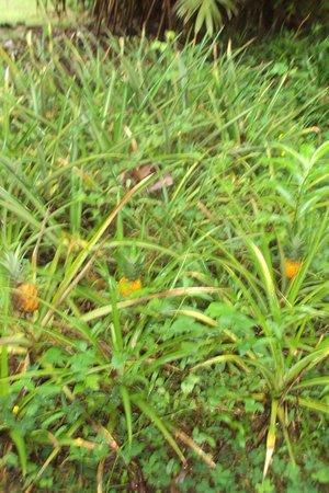 Princesa de la Luna Eco Lodge: Baby pineapples to pick and eat
