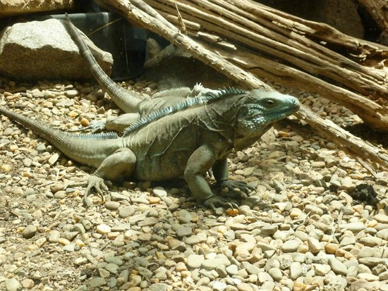 Riverbanks Zoo and Botanical Garden: Iguana