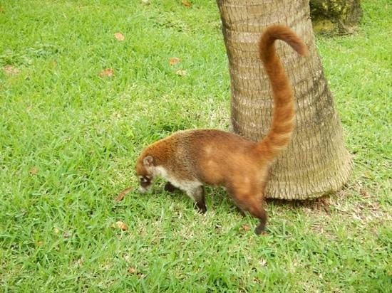 IBEROSTAR Paraiso Del Mar: very cute coati, please DO NOT feed them!
