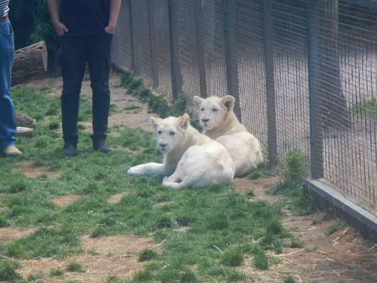 Zoodoo Zoo: 6month old white lions