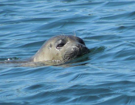 Prestige Oceanfront Resort, BW Premier Collection : Seals poke up near the dock.