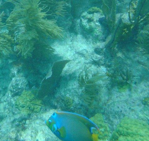 Looe Key (Florida Keys National Marine Sanctuary): Queen Angel