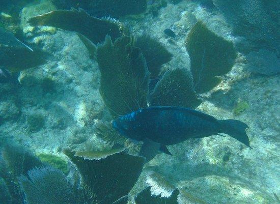 Looe Key (Florida Keys National Marine Sanctuary): Midnight Parrotfish