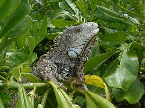 Renaissance Aruba Resort & Casino: the local iguana