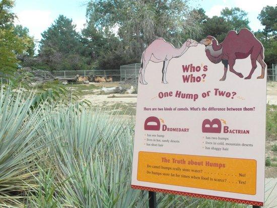 Denver Zoo: Camels!