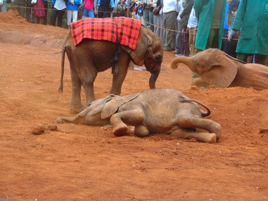 David Sheldrick Wildlife Trust : Baby ellie wrapped in Masai cloth to keep warm