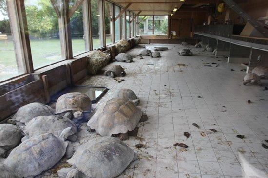 Alligator Bay : tortues