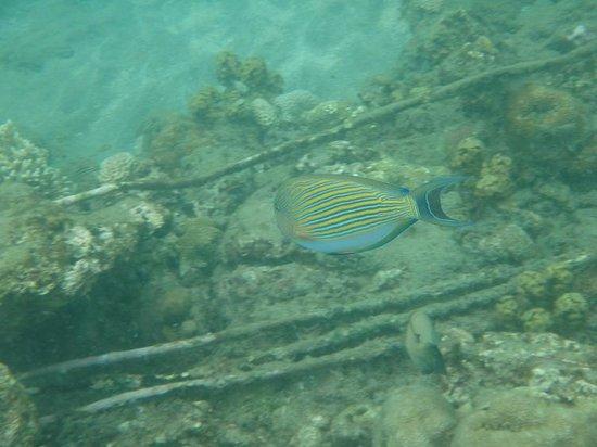Biorock Pemuteran bali: snorkeling at the Biorock in Pemuteran