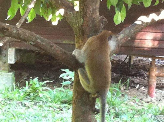 Mutiara Taman Negara : Monkey near the house
