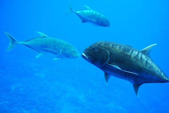 Raro Reef Sub: Big fish