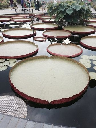 Longwood Gardens : Amazed by the gigantic platters in the pond
